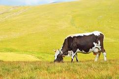 Mucca sul pascolo della montagna Fotografie Stock