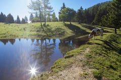 Mucca sul pascolo in un prato alpino vicino al lago Fotografia Stock Libera da Diritti