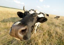 Mucca sul prato Fotografia Stock Libera da Diritti
