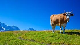 Mucca sul prato Immagini Stock Libere da Diritti