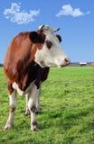 Mucca sul prato Fotografie Stock Libere da Diritti