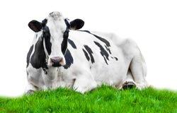 Mucca sul prato Immagine Stock