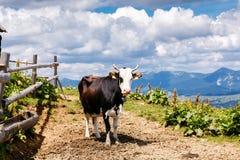 Mucca sul prato carpatico dell'alta montagna Immagine Stock Libera da Diritti