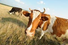 Mucca sul prato con erba Immagini Stock Libere da Diritti