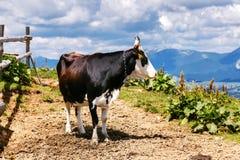Mucca sul prato di Carpatian dell'alta montagna Immagine Stock