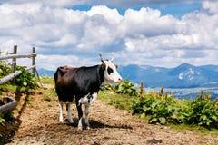 Mucca sul prato di Carpatian dell'alta montagna Fotografia Stock