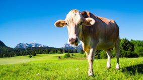 Mucca sul prato nel Allgau Immagine Stock Libera da Diritti