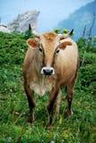 Mucca sul prato verde Fotografie Stock Libere da Diritti