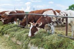 Mucca sull'azienda agricola Immagine Stock Libera da Diritti