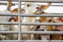 Mucca sulla gabbia del camion Fotografia Stock