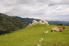 Mucca sulla montagna Fotografia Stock Libera da Diritti