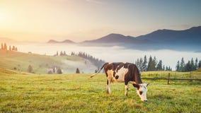 Mucca sulla montagna Immagini Stock Libere da Diritti