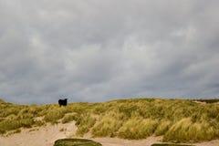 Mucca sulla spiaggia Fotografie Stock Libere da Diritti