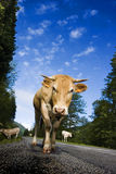 Mucca sulla strada Fotografie Stock