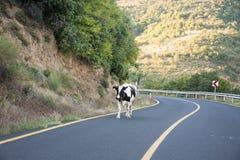 Mucca sulla strada Fotografia Stock Libera da Diritti