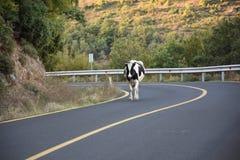 Mucca sulla strada Fotografia Stock