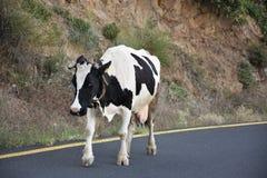 Mucca sulla strada Immagini Stock