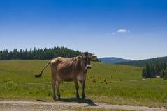 Mucca sulla strada della montagna Fotografie Stock