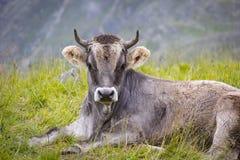 Mucca sulle alpi europee Immagine Stock Libera da Diritti