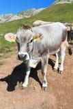 Mucca sulle dolomia Immagini Stock Libere da Diritti