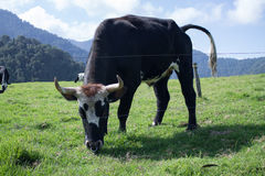 Mucca sulle montagne colombiane Immagini Stock