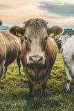 Mucca sveglia Immagini Stock