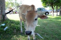 Mucca sveglia Immagini Stock Libere da Diritti
