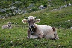 Mucca svizzera Immagini Stock Libere da Diritti