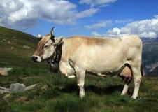 Mucca svizzera fotografie stock libere da diritti