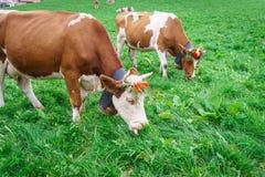 Mucca svizzera Fotografia Stock