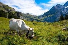Mucca in Svizzera Fotografia Stock