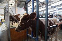 Mucca - Sydney Royal Easter Show Immagini Stock