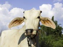 Mucca tailandese Fotografia Stock Libera da Diritti