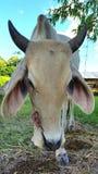 Mucca tailandese Fotografia Stock