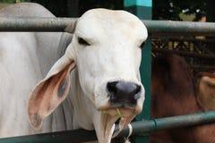 Mucca tailandese che mangia erba in azienda agricola in Tailandia fotografia stock
