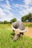 Mucca tailandese che mangia erba fresca vicino al fiume con il Mountain View dietro Fotografia Stock Libera da Diritti