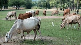 Mucca tailandese che mangia erba sul campo video d archivio