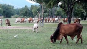 Mucca tailandese che mangia erba sul campo stock footage