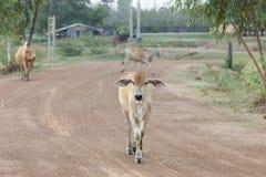 Mucca in Tailandia immagini stock libere da diritti