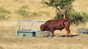 Mucca a tempo di alimentazione Fotografia Stock Libera da Diritti