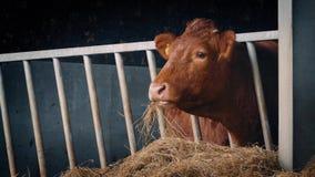 Mucca in tettoia che mangia paglia stock footage