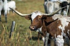 Mucca texana Fotografia Stock Libera da Diritti