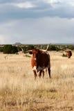 Mucca texana immagine stock