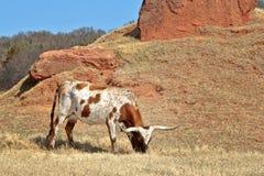 mucca texana Fotografia Stock