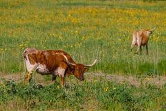 Mucca texana BEVO Immagini Stock