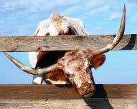 Mucca texana Bull Fotografie Stock