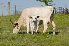 Mucca texana del bambino e della madre Fotografia Stock