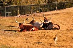 mucca texana del bestiame Immagine Stock Libera da Diritti
