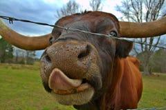 Mucca texana del Texas Immagine Stock Libera da Diritti
