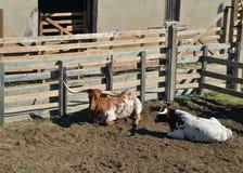 Mucca texana del Texas Fotografia Stock Libera da Diritti